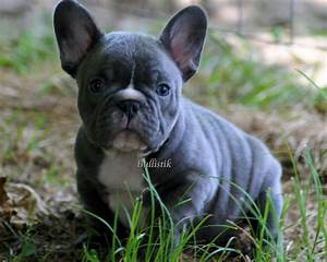 Pin French-bulldog-blue on Pinterest