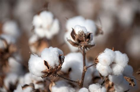 Image result for gmo cotton pix