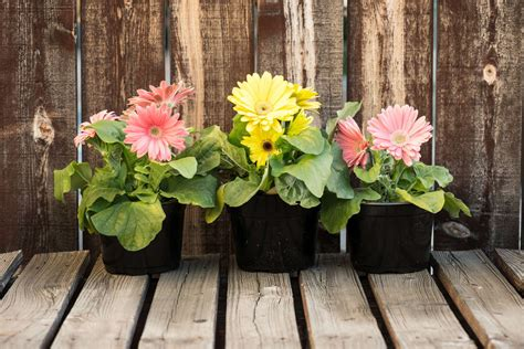 Gerbera Im Topf, Im Garten & Als Schnittblume