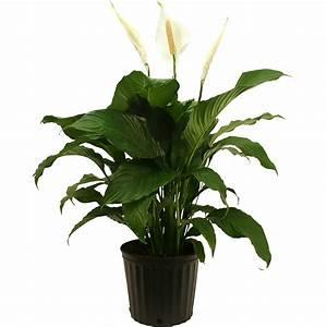 costa, farms, live, indoor, 3ft, , peace, lily, , grower, pot, -, walmart, com
