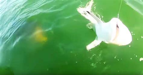 grouper goliath shark eats bite pound apost