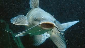 cat fish i was a catfish before catfishing was invented s