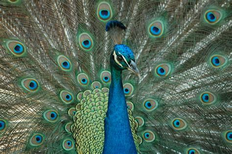 Pictures Images Peacock Free Stock Photo Domain Pictures