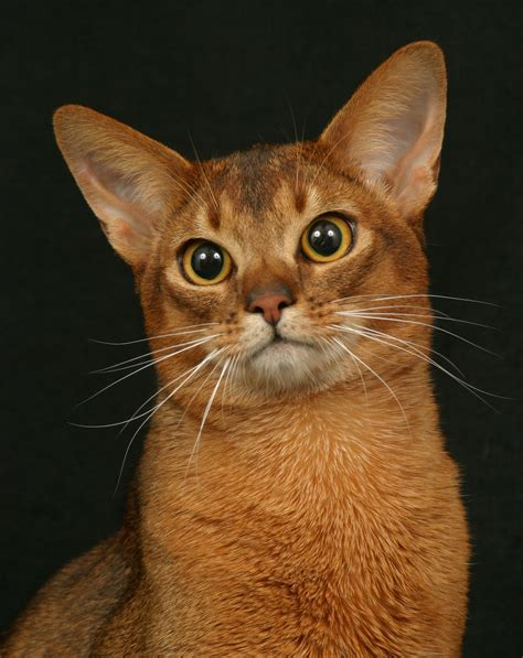 Cat With Big Ears Animals Cat Cats The Best Wallpapers