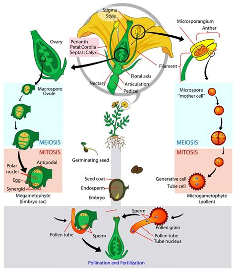 flower life cycle diagram pictures photos images of