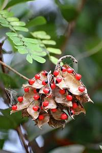 Rosary Pea Plant Photograph By David T Wilkinson