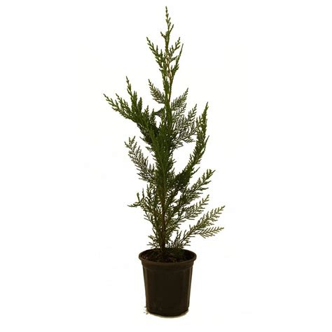 cypress home depot onlineplantcenter 5 gal 5 ft yoshino cherry tree p3885g5 the home depot