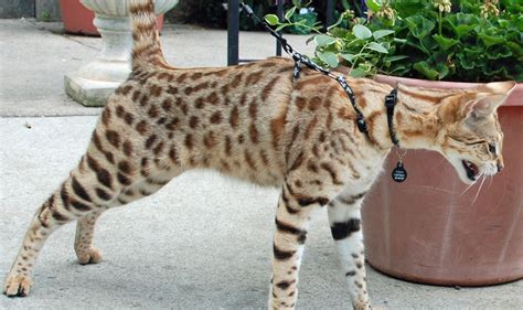 titan  savannah cat  leash