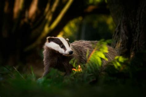badger cull petition thousands sign petition against badger cull at chatsworth
