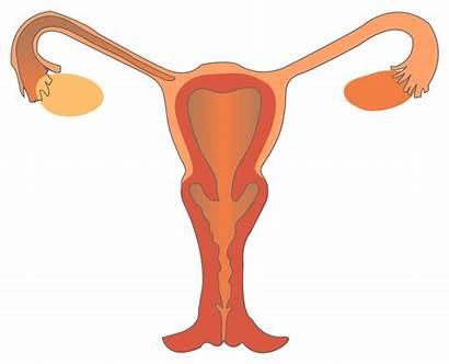 Reproductive Female System Svg Anterior Wikimedia Commons
