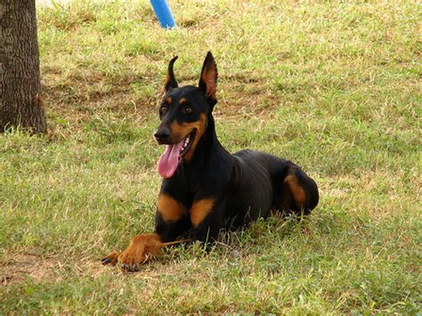 How Much Does A Doberman Pinscher Cost Howmuchisit Org