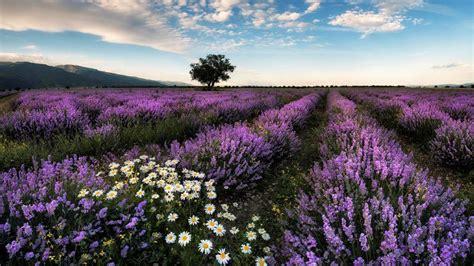 lavender farm station japan  ultrahd wallpaper
