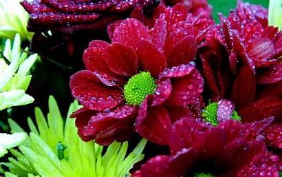Wet Daisy Wallpapers Definition Fondo Pantalla Flowers