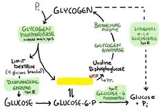 aid glycogen glycogen storage diseases