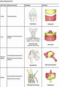 Multiaxial Joints Of The Body