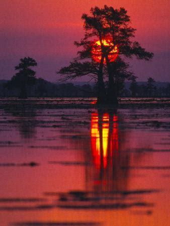 cypress swamp  sunrise texas usa photographic print