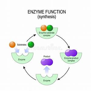Enzyme Function  Synthesis  Substrate  Product  Enzyme