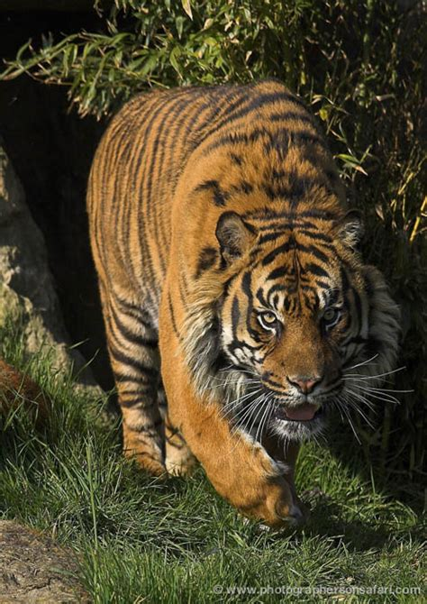 Kent World Heritage Foundation Big Cats Photography Whf