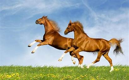 Horse Brown Wallpapers Animals Horses Desktop Cavalos