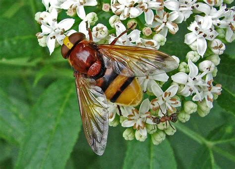 volucella zonaria grosse waldschwebfliege