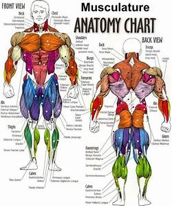 Human Body Muscles Diagram Labeled