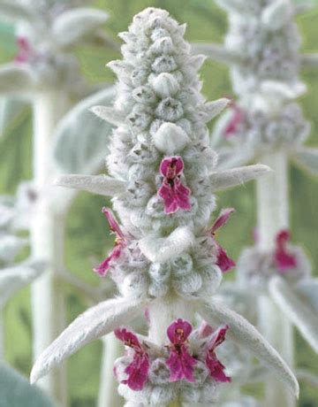 1000 images about lamb s ear on pinterest