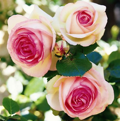 Eden Rose 85 Shrub Roses Online Shop Rosen Tantau