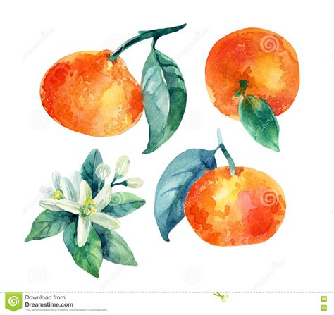 Watercolor Mandarine Orange Fruit Branch With Leaves