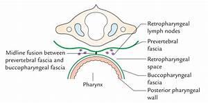 Easy Notes On 【Deep Cervical Fascia – Fascia Colli】