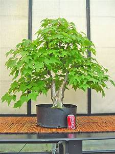 Acer rubrum project