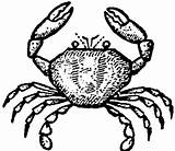Drawing Crab Cartoon Easy Draw Crabs King Steps Follow Realistic Getdrawings Step sketch template