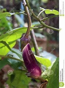 Eggplant fruit stock photo. Image of drops, health, nature ...