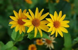 pictures of flowers and plants tickseed coreopsis auntie dogma s garden spot