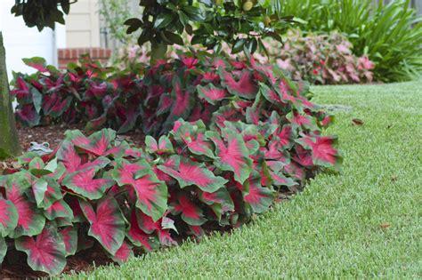 caladiums florida caladium florida cardinal has an especially elegant look with medium sized 6 quot to 15 quot bright