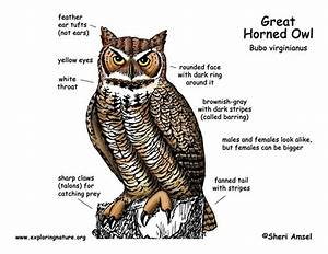 Great Horned Owl Diagram
