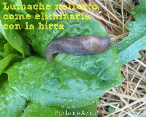Come eliminare le lumache dall orto in modo naturale senza prodotti chimici usando la birra