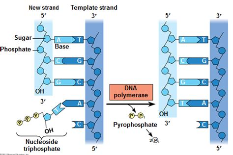 the enzyme uses atp to unwin dna template image nucleoside triphosphate for term side of card