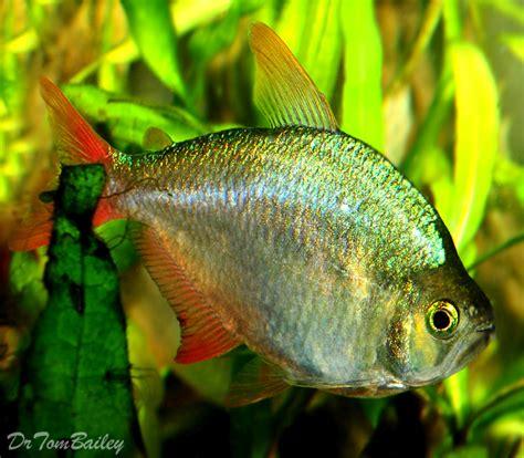 housse siege 306 aquarium tetras 28 images aquarium tetras for sale at