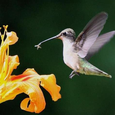 attracting hummingbirds hummingbirds birds and plants