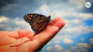 Monarch Butterfly Population Plummets In California