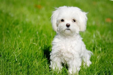 25 Cutest Maltese Haircuts For Your Little Puppy