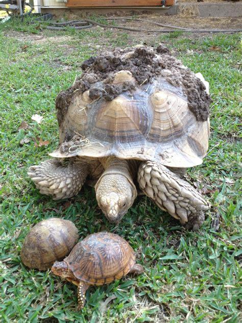 napoleon ranch tortoise page