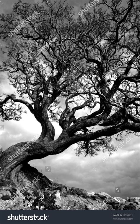 Twisted Image Twisted Tree Clings Onto Limestone Outcrop Stock Photo