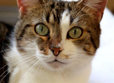 Tiger Cats Breed - Cat Lover   Cat Training