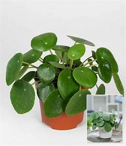 Pilea Pflanze Kaufen : pfannkuchenpflanze 1a zimmerpflanzen online kaufen ~ Michelbontemps.com Haus und Dekorationen