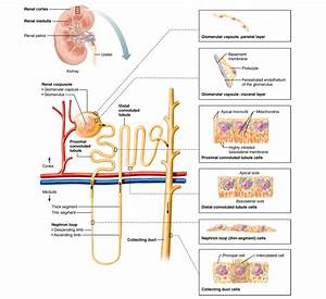 A Nephron Consists Of Quizlet