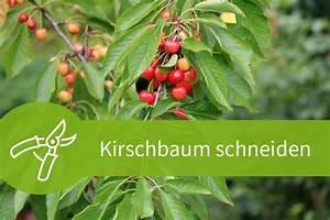 Kirschbaum Richtig Schneiden : kirschbaum schneiden 4 schnitttechniken f r 2 sorten ~ Lizthompson.info Haus und Dekorationen