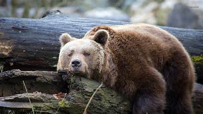 Bear Wallpapers Bears Grizzly Backgrounds Widescreen Themes