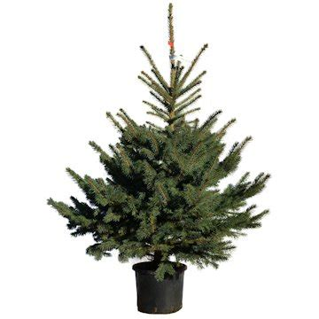 real potted christmas trees for sale asda real potted trees