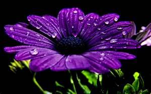 Beautiful Dew Purple Flower Wallpaper | Wallpaper Gallery